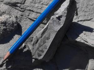 foglia-fossile